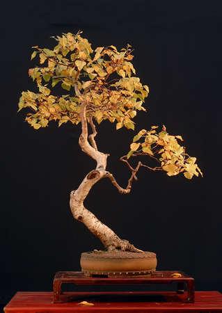betula pendula: Europeo di betulla, Betula pendula, raccolti in Austria, in stile da Walter Pall, 90 cm di altezza, pentola da Derek Aspinall, immagini 102006