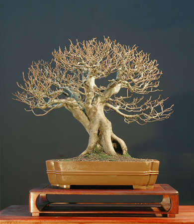 60 years old: European beech, Fagus sylvatica, 50 cm high, arond 60 years old, collected in Germany, styled by Walter Pall, picture 112006 Stock Photo