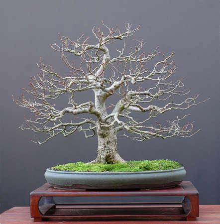 tilia: linden, Tilia platiphyllos, 50 cm high, around 50 years old, from nursery material, styled by Walter Pall, pot by Bryan Albright, picture 112006 Stock Photo