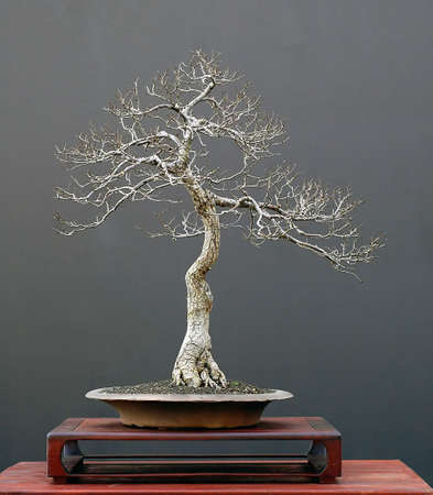 European field elm, Ulmus campestre, 60 cm high, around 40 years old, collected in Germany, styled by Walter pall, pot by Josef mairhofer, picutre 11/2006
