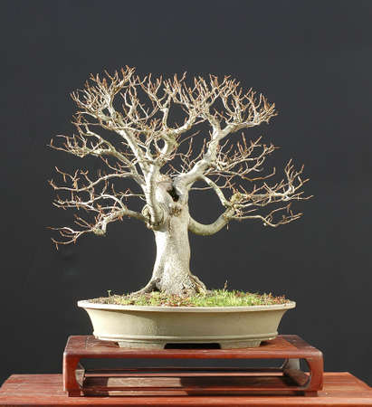European beech, Fagus sylvatica, bonsai Stock Photo