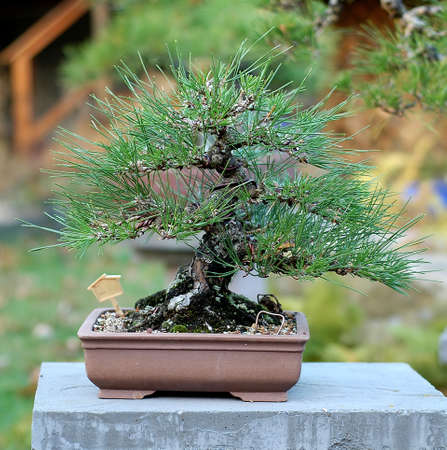 Japanese Black Pine, Pinus thunbergiana, about 30 years old, import from Japan, 30 cm high, picutre 11/2006