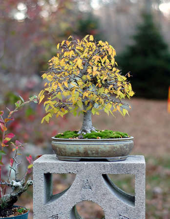 Zelkova, Zelkova serrata, import from Japan, 30 cm high, around 30 years old