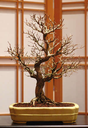 Trident maple, Acer burgerianum, about 40 cm high, around 50 years old, made in America Stock Photo