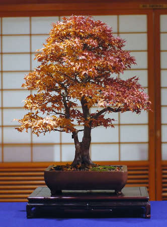 Japanese maple, Acer palmatum, abut 50 cm high, around 40 years old, made in America Stock Photo