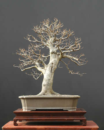 European beech, Fagus sylvatice, 70 cm high, around 50 years old, collected in Grmany, styled by Walter Pall, pictue 11/2006