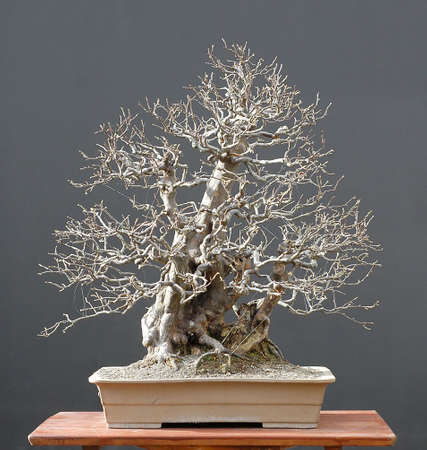 Chinese quince, Pseudocydonia sinensis, 70 cm high, afourn 60 years old, fro a tree collected in thewild, Styled by Walter pall from imported raw material, picutre 11/2006