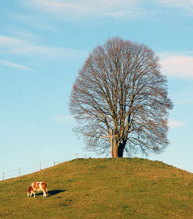 linden tree (lime tree), in December in Bavaria, Germany with cow, Tilia platiphyllos