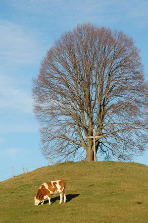 linden tree (lime tree), Tila platiphyllos, in Bavaria, Germany in December with cow Stock Photo