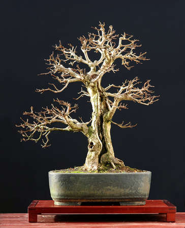 field maple: European field maple, Acer campestre, 50 cm high, arond 50 years old, from nursery stock, stled by Walter Pall, pot by Josef Mairhofer