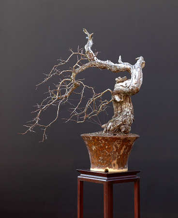 Euroean comon hawthorn, Crataegus monogyna, 60 cm high, around 60 years old, collected in Germany, styled by Walter Pall