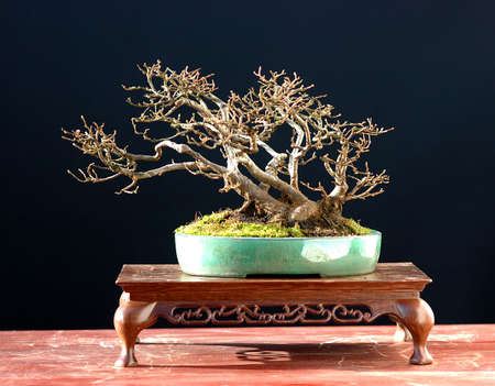 European hornbeam, Carpinus betulus, around 40 years old, 18 cm high, collected in Germany, styled by Walter Pall
