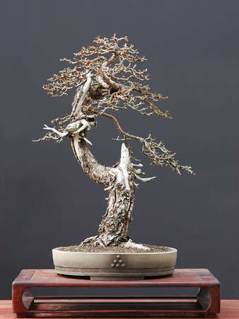 pall: European larch, Larix decidua, 55 cm high, more thtan 100 years old, colected in Austia, styled by Walter pall, pot by Josef Mairhofer Stock Photo
