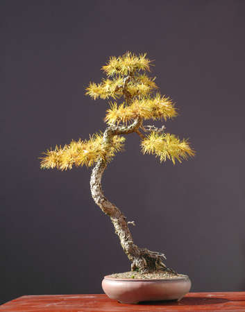 krebs: European larch, Larix decidua, 60 cm high, around 80 years old, collected in Switzerland, styled by Walter Pall, pot by Peter Krebs