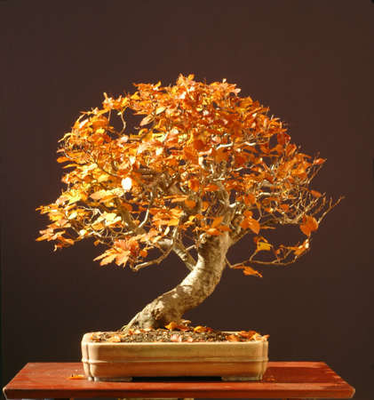 pall: European beech, Fagus sylvtica, collected in germany, styled by Walter Pall, 60 cm hihg, around 50 years old, pot by Derek Aspinall
