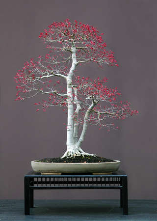 60 years old: Japanese maple, Acer palmatum, 70 cm hihg, around 60 years old, from imported raw matrial, stlyed by Walter Pall, pot by Derek Aspinall