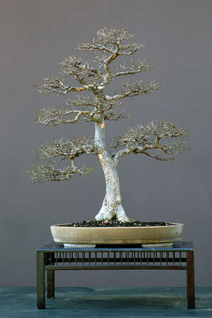 60 years old: Chinese elm, Ulmus parvifolia, 70 cm high, around 60 years old, from imported raw material, styled by Walter Pall, pot by Derek Aspinall