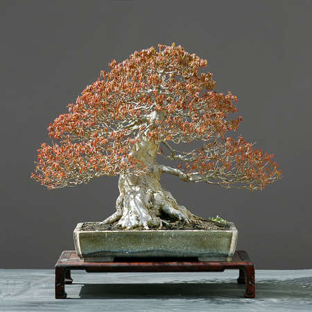 trident maple, acer burgerianum, 50 cm high, around 60 years old, from imorted raw material, styled by Walter Pall, pot by Derek Aspinall