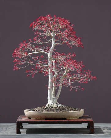 60 years old: Japanese maple, acer palmatum, natural spring color of that variety, 70 cm hihg, around 60 years old, from imported raw material, styled by Walter Pall, pot by Derek Aspinall