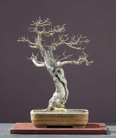 60 years old: European oak (English oak), Quercus robur, 70 cm high, around 60 years old, collected in Germany, styled by Walter Pall, pot by Derek Aspinall