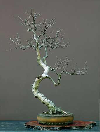 European silver birch, Betula pendula, 90 cm high, arounc 50 years old, collected in Austria, styled by Walter Pall
