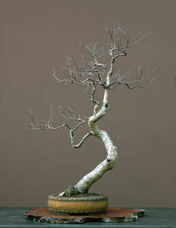 betula pendula: European silver birch, Betula pendula, collected in Austria, styled by Walter Pall, 90 cm high, around 50 years old, pot by Derek Aspinall Stock Photo