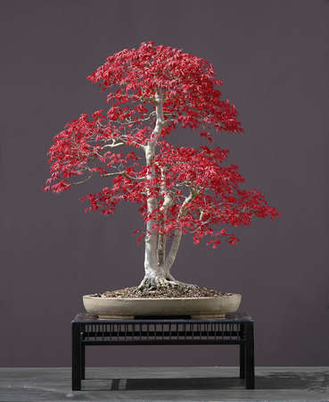 Japanese maple, acer palmatum natural spring color of that variety, not photoshopped, 70 cm high, around 60 years old, from imported raw material, styled by Walter Pall, pot by Derek Aspinall