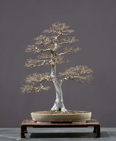 60 years old: Chinese elm, Ulmus parvifolia, 70 cm hihg, around 60 years old, from imported raw material, styled by Walter Pall, pot by Derek Aspinall