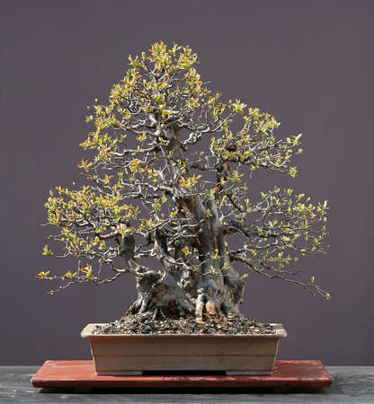 60 years old: Chinese quince, Pseudocydonia sinensis, 80 cm high, arond 60 years old, from miported raw material, styled by Walter Pall