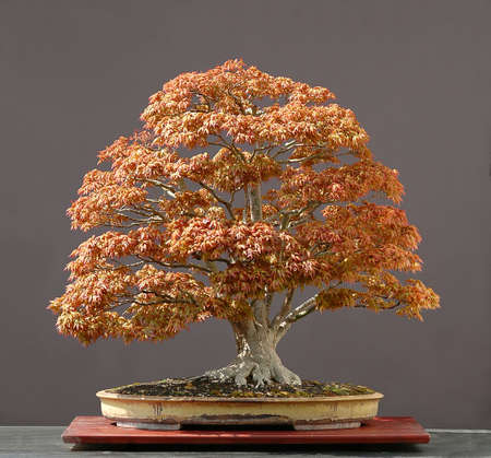 Japanese maple, Acer palmatum, true spring color, not photoshopped, 90 cm high, around 100 years old, from imported raw material, styled by Walter Pall