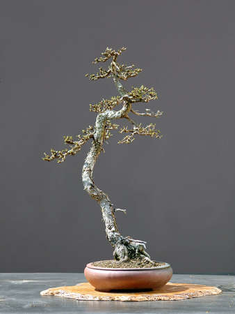 krebs: European larch, Larix decidua, 60 cm high, around 100 years old, collected in switerhland, sytled by Walter Pall, pot by Peter Krebs