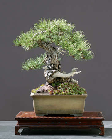 Austrian black pine, Pinus nigra Austriaca, 50 cm high, more than 100 years old, collected in Austria, styled by Walter Pall, pot by Derek Aspinall