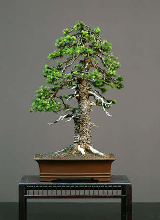 European spruce (Norway spruce), Picea abies, collected in Italy, styled by Walter Pall, 60 cm high, over 100 years old