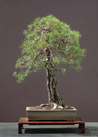 pinus sylvestris: Scots pine, Pinus sylvestris, 90 cm high, around 100 years old, collected in Germany, styled by Walter Pall, pot by Derek Aspinall