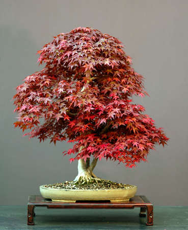 60 years old: Japanese maple, acer palmatum, 70 cm high, around 60 years old, from imported raw material, stlyed by Walter Pall, pot by Derek Aspinall