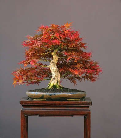 Japanese maple, Acer palmatum, true spring color, not photoshopped, 35 cm high, around 50 years old, from imported raw amterial, styled by Walter Pall, pot by Petra Tomlinson Stock Photo