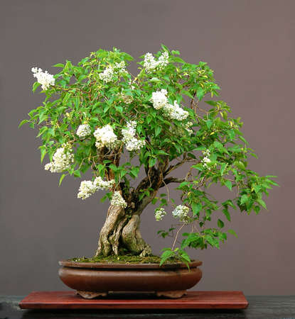 pall: garden lilac, Syringa vulgaris, 80 cm high, around 90 years old, from nursery stock, styled by Walter Pall