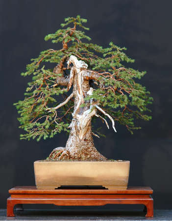 picea: European spruce (Norway spruce), Picea abies, 90 cm high, way over 100 years old, collected in Switzerland, syled by Walter Pall, pot by Derek Aspinall Stock Photo