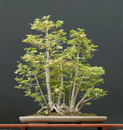 cm: European field maple, Acer campestre, 80 cm hihg, aournd 40 years old, collected in Austria, styled by Walter Pall, pot by Derek Aspinall