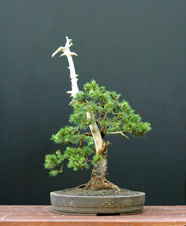 picea: European spruce (Norway spruce), Picea abies, 40 cm high, around 80 years old, collected in Asutria, styled by Walter Pall