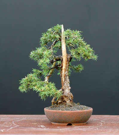picea: European spruce (Norway spruce), Picea abies, 24 cm hihg, shohin, collected in Asutria, styled by Walter Pall