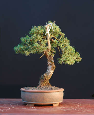 picea: European spruce (Norway spruce), Picea abies, 24 cm hihg, shohin, around 50 years old, collected in Austria, styled by Walter Pall