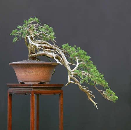 enebro: Sabina, enebro, Juniperus sabina, 50 cm de alto, 80 cm de largo, 100 a�os, recogidos en Austria, estilo de Walter Pall  Foto de archivo