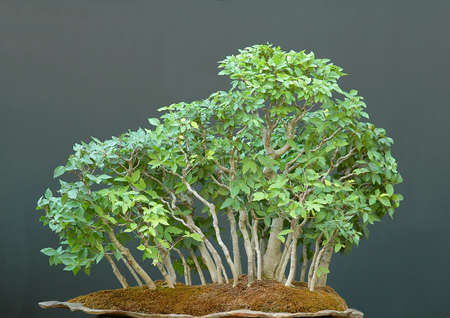 Japanese beech, Fagus crenata, 70 cm high, from 15 to 40 years old photo
