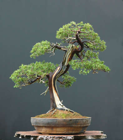 cm: needle juniper, Juniperus rigida, 80 cm hihg, aorund 200 years old, imported from Japan, stlyed by Walter Pall