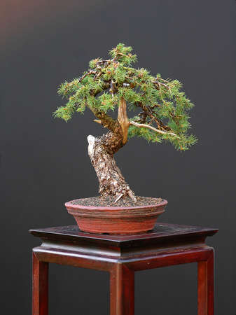 picea: Europaen spruce, Picea abies, 30 cm hihg, around 100 years old, collected in Italy, styled by Walter Pall Stock Photo