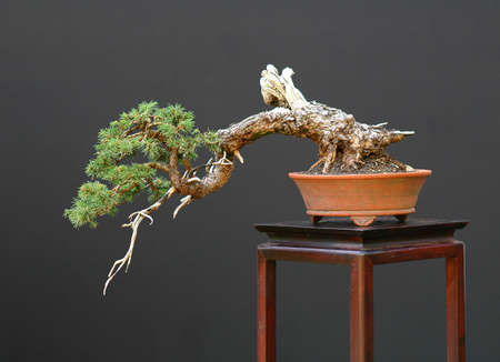 European spruce, Picea abiese, 45 cm long, around 100 years old, collected in Switzerland, styled by Walter Pall