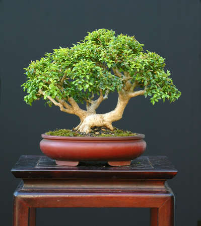 Korean boxwood, buxus microphyllum, 24 cm high, around 40 years old, from nursery stock, styled by Walter Pall Stock Photo