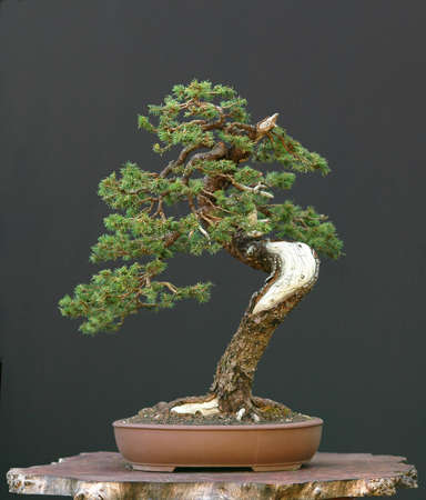 picea: European spruce (Norway spruce), Picea abies, 60 cm highm over 100 years old, collected in Switzerland, styled by Walter Pall