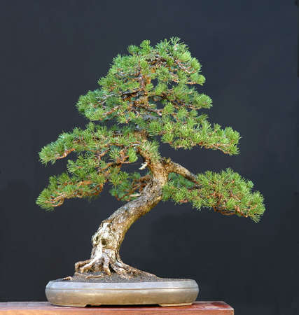 Mugo pine, Pinus mugo, collected in Switerland, styled by Walter Pall, 80 cm high, around 200 years old Stock Photo